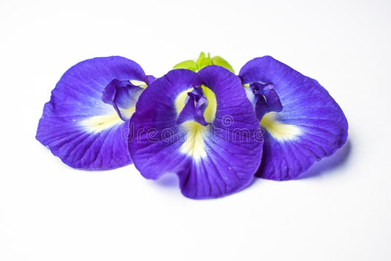 Beautiful Purple Flower, Close up Butterfly Pea Flower on White Background royalty free stock photo