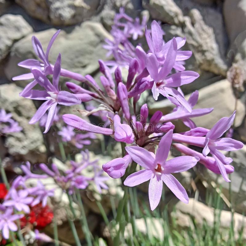 Beautiful purple flower cluster with a stone wall background. Close-up, no filter added. stock image