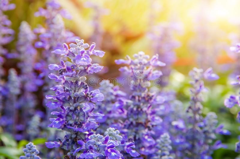 Beautiful Purple flower with glass flower and yellow blooming in garden when morning sun stock photo