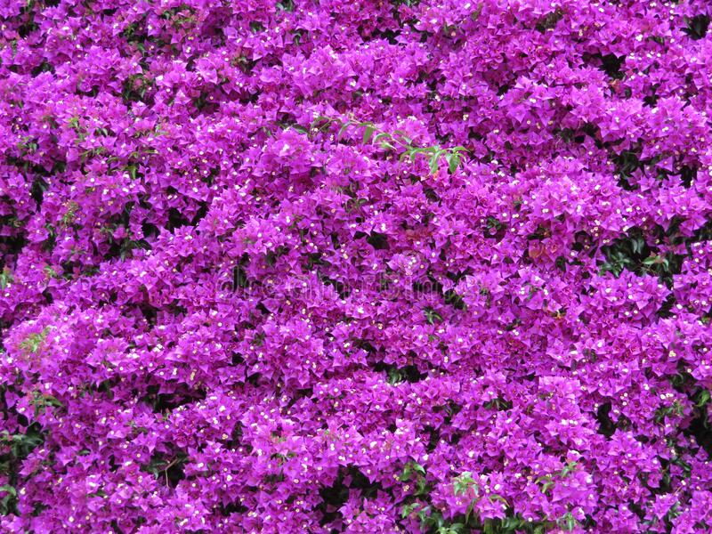 Beautiful purple flower of intense color and great beauty. Flores stock photography
