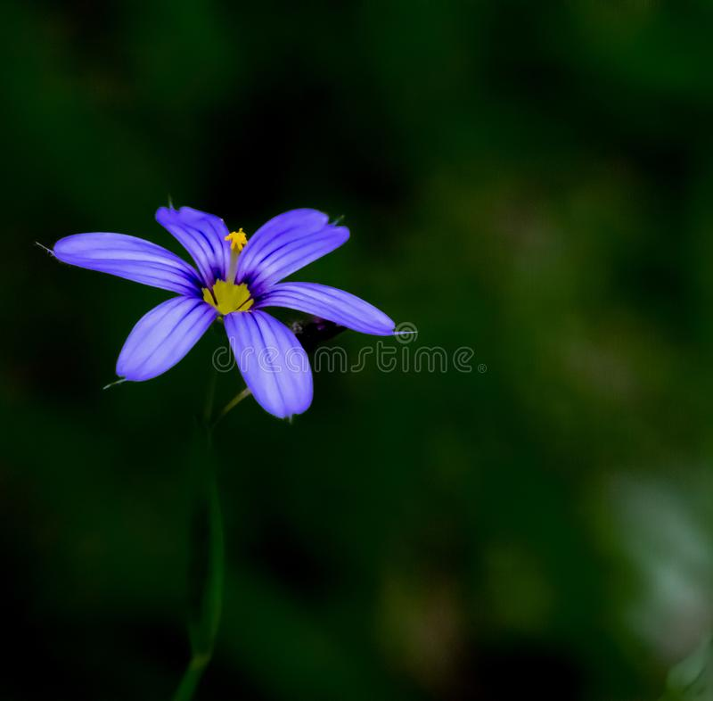 The Beautiful Purple flower of the Nevada blue-eyed grass royalty free stock photos
