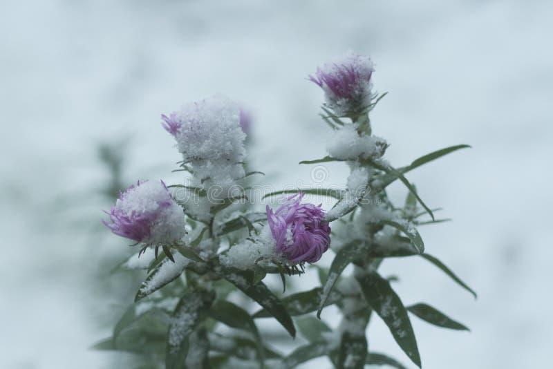 Beautiful purple flower under the white snow . Beautiful purple flower under the white snow in the winter royalty free stock photo