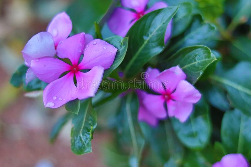 Beautiful Purple Flower with Raindrops stock images