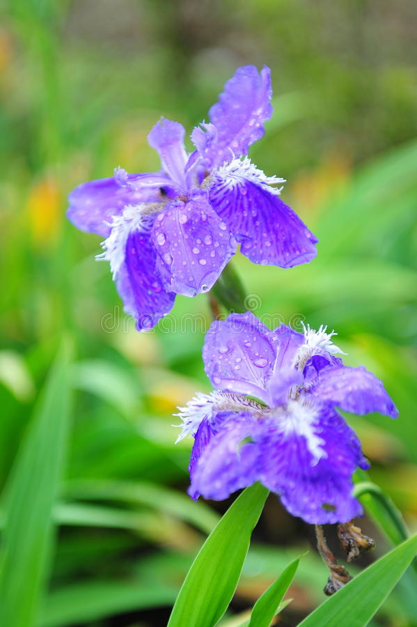 Beautiful Purple Flowers Royalty Free Stock Images