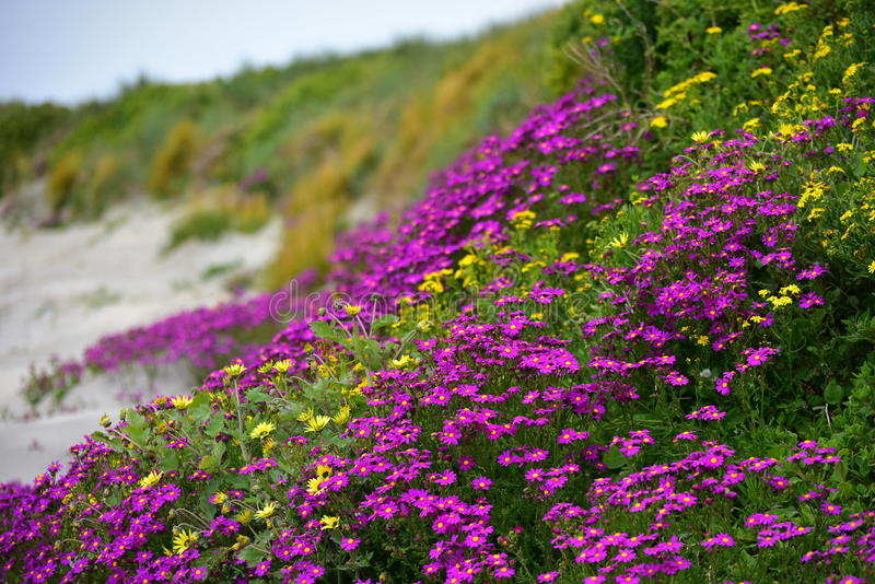Beautiful purple flowers along the coast of Griffiths Island in Victoria royalty free stock photos