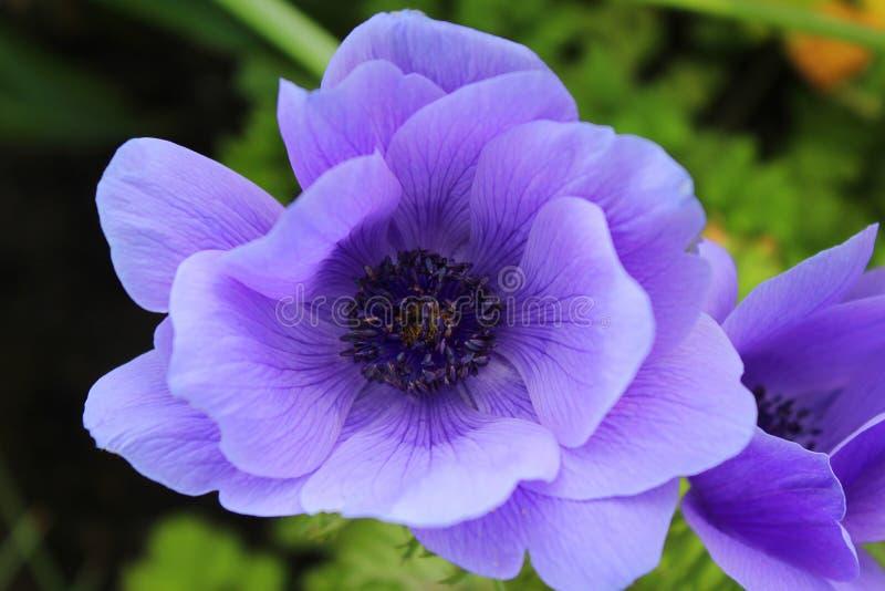 Beautiful Purple Anemone Coronaria Flower royalty free stock photography
