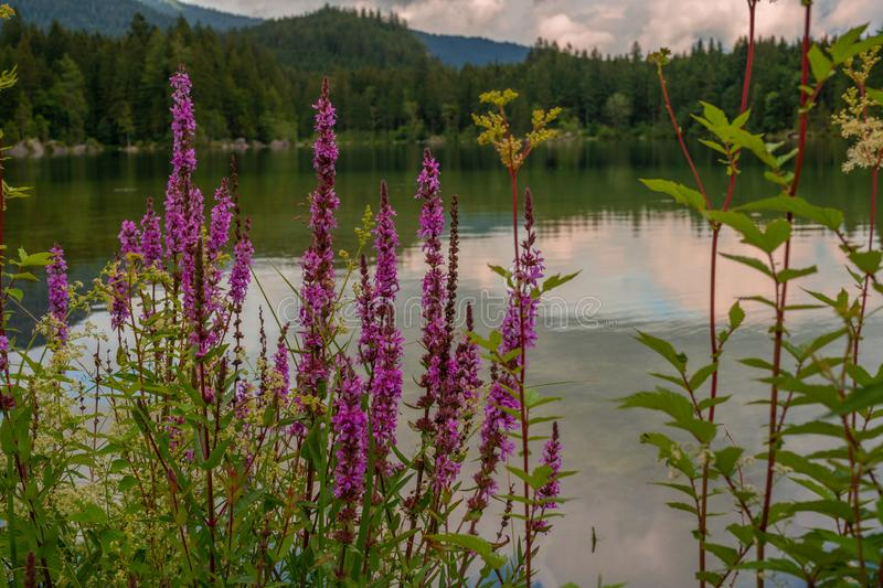 Beautiful purple flowers in front of a mountain lake royalty free stock photo