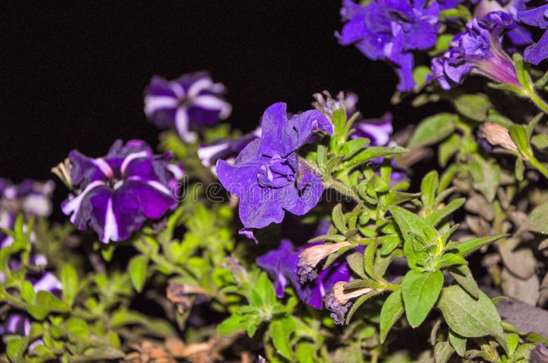 Beautiful purple flowers with green leaves in dark background stock photos