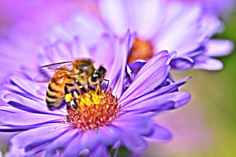 Beautiful purple flowers honey bee pollinate mirco photo vibrant stock photography