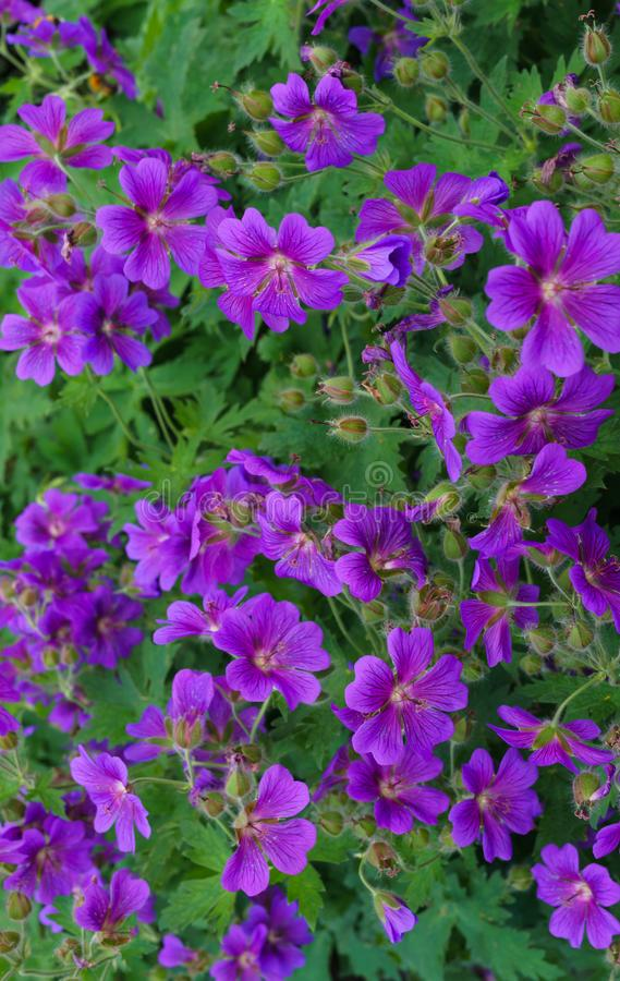 Beautiful purple flowers of the hybrid geranium in the garden stock images
