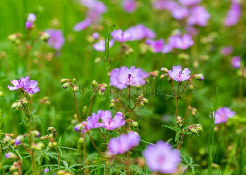 Beautiful purple flowers in nature stock images