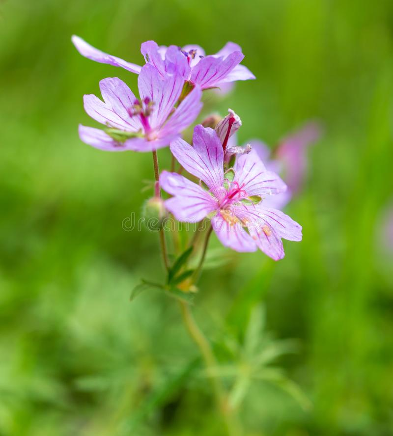 Beautiful purple flowers in nature royalty free stock image