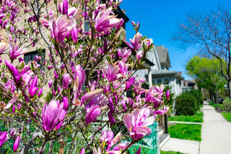 Beautiful Purple Flowers on a Sidewalk with a Row of Homes in Lincoln Square Chicago. Beautiful purple flowers at a home garden next to a sidewalk with a row of stock images