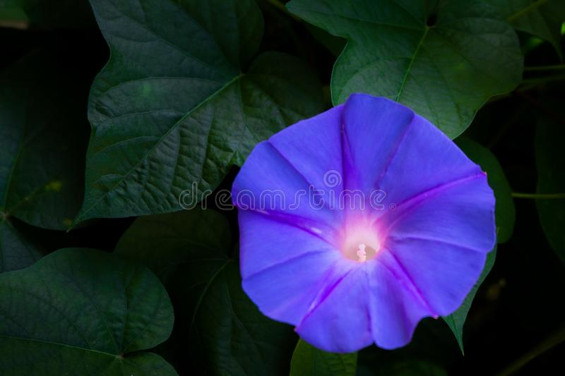 Beautiful purple flowers stand out in the natural darkness in the garden. stock photo