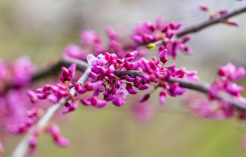Beautiful purple flowers on a tree in spring royalty free stock photography