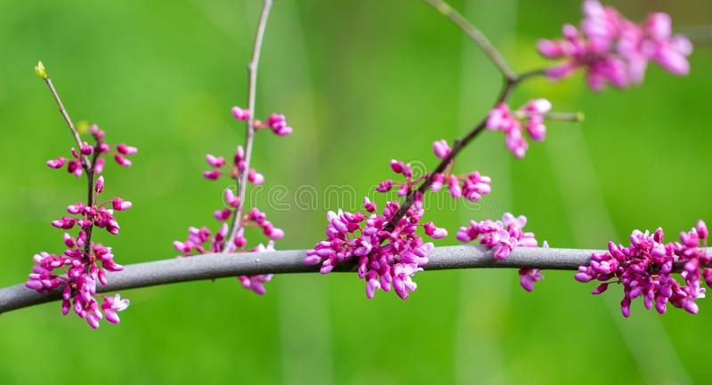 Beautiful purple flowers on a tree in spring royalty free stock image