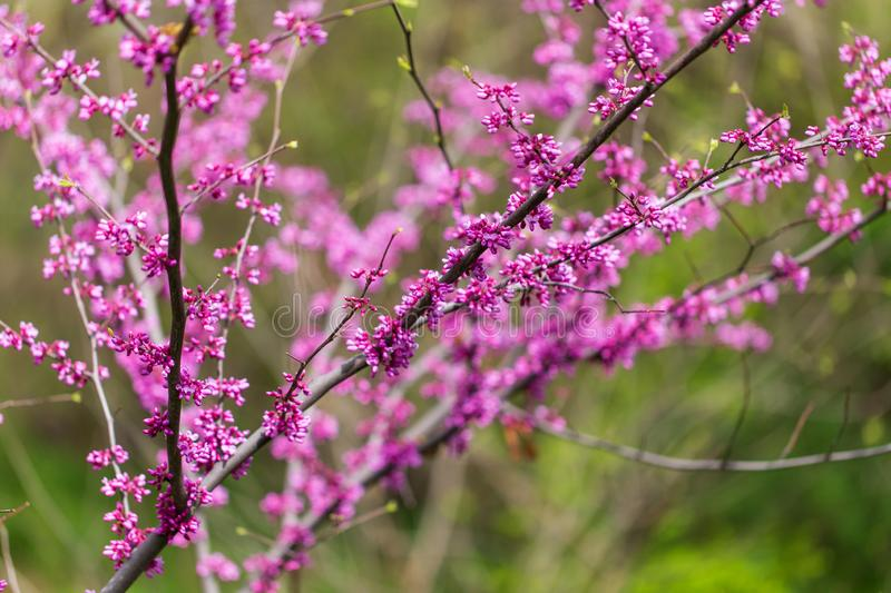 Beautiful purple flowers on a tree in spring stock photography