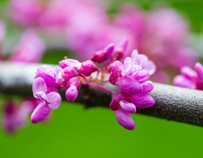 Beautiful purple flowers on a tree in spring royalty free stock images