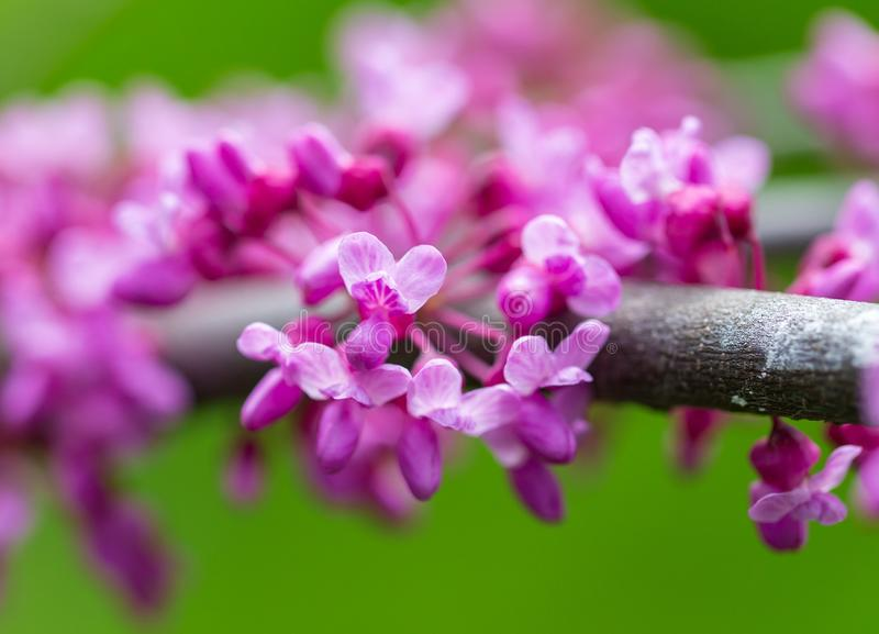 Beautiful purple flowers on a tree in spring stock photos