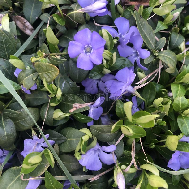 Beautiful purple flowers of vinca on background of green leaves royalty free stock photo
