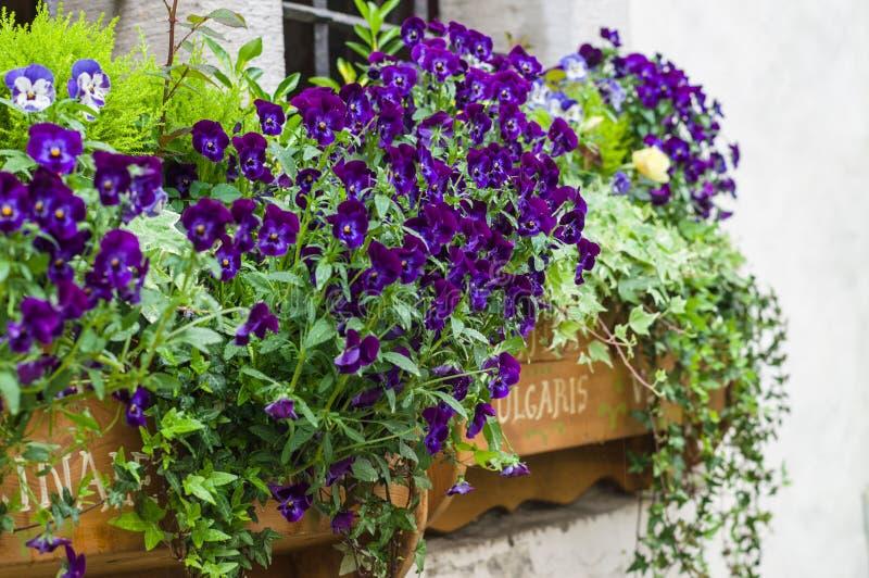Beautiful purple flowers in a window garden stock photo
