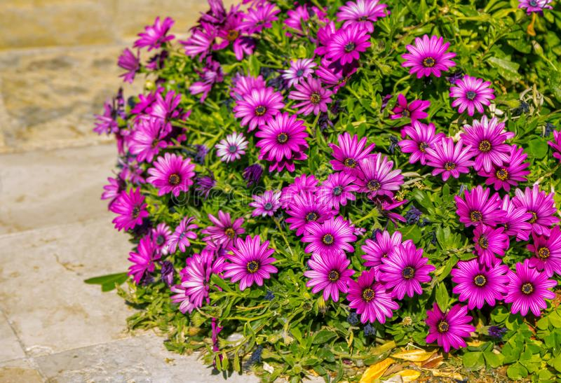 Beautiful purple fresh African daisy Osteospermum flowers. Growing in garden. Blooming summer nature royalty free stock photo