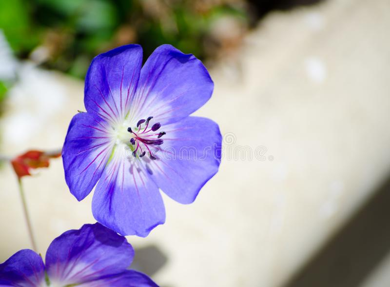 Beautiful purple Geranium wallichianum `Rozanne` in a spring season at a botanical garden. stock image