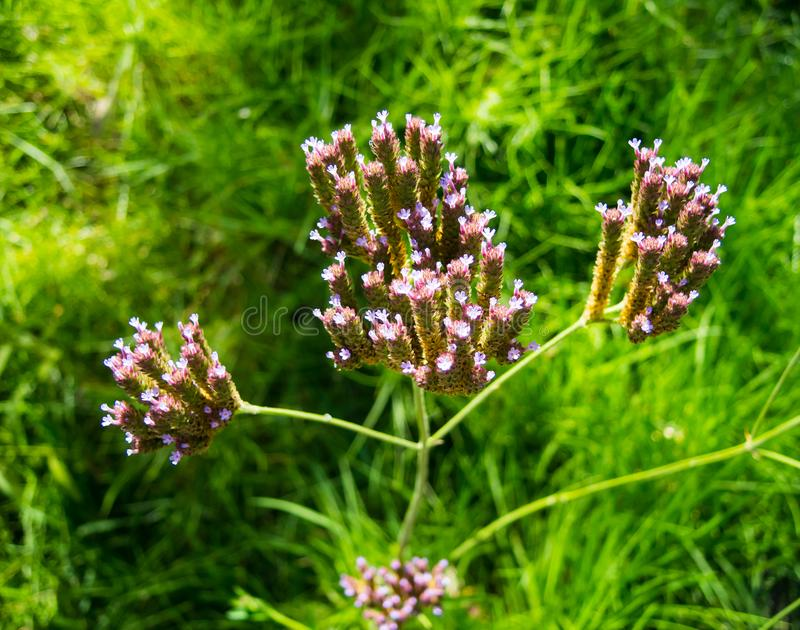 Beautiful purple of grass flower in a summer in Australia. royalty free stock photo