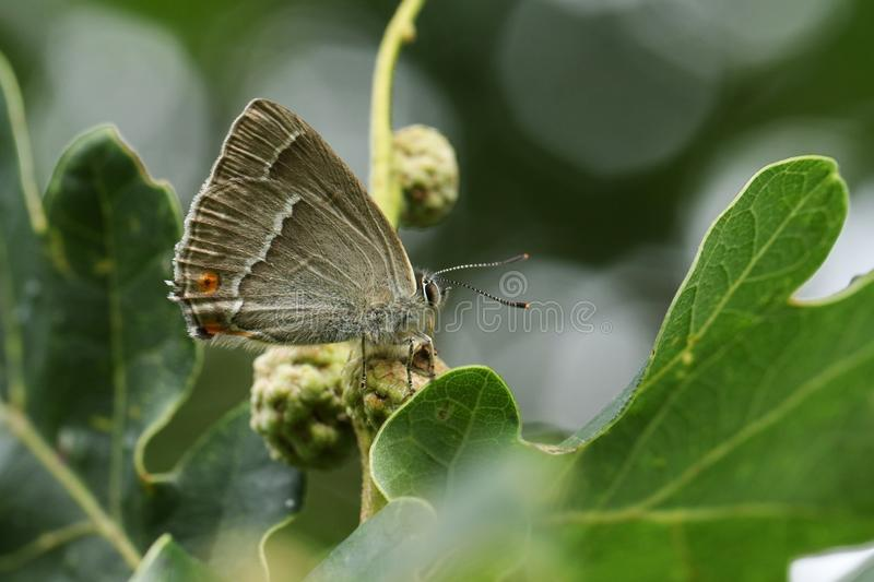 A beautiful Purple Hairstreak Butterfly, Favonius quercus, perched on an Acorn and feeding on the honeydew. A Purple Hairstreak Butterfly, Favonius quercus stock images