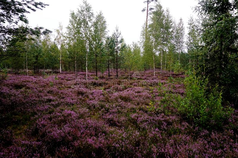 Beautiful purple Heather Calluna vulgaris bush royalty free stock image