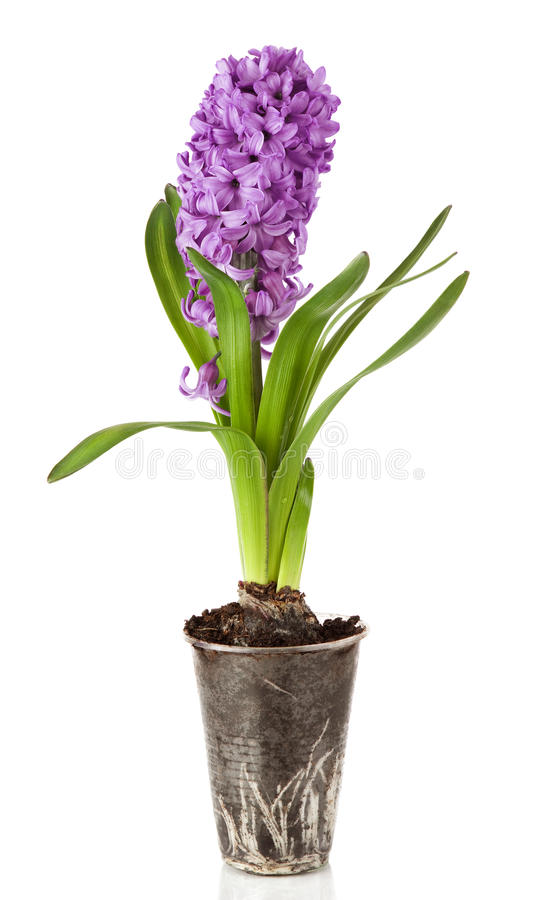 Beautiful purple hyacinths flowers isolated on a white background stock photography