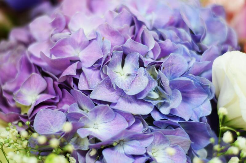 Beautiful purple hydrangea flower close up made with filter color stock photo