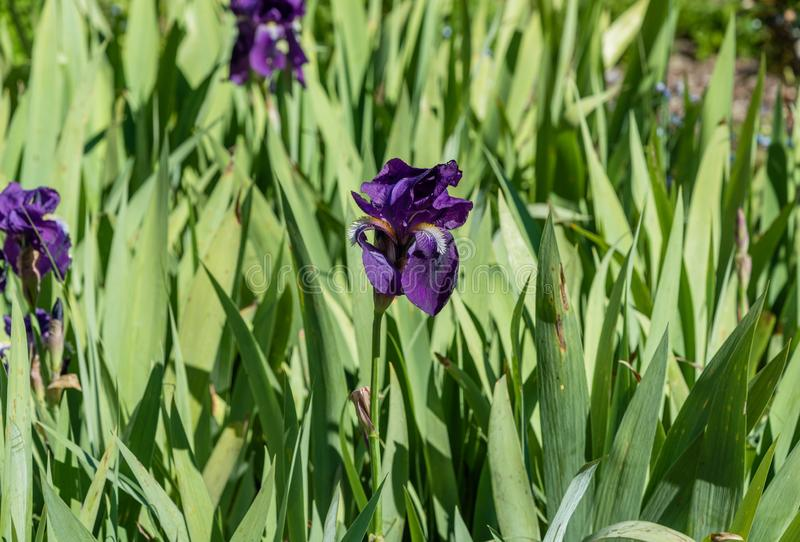 Beautiful purple iris flowers on a bright spring day stock images