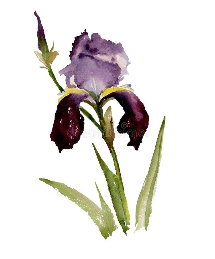 Beautiful purple iris on white background. Watercolor painting. royalty free illustration