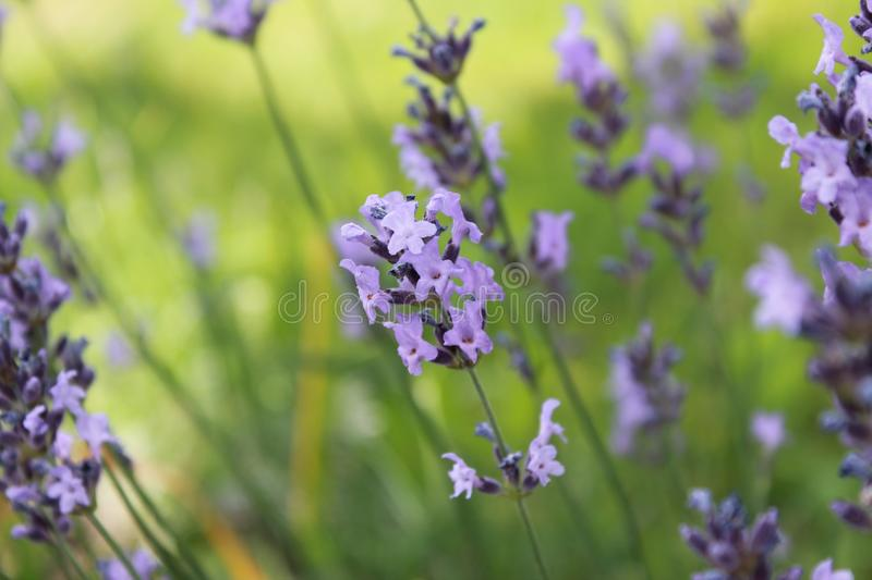 Beautiful Purple lavender at summertime royalty free stock photography