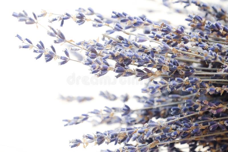 Beautiful purple lavender on a white background stock photography