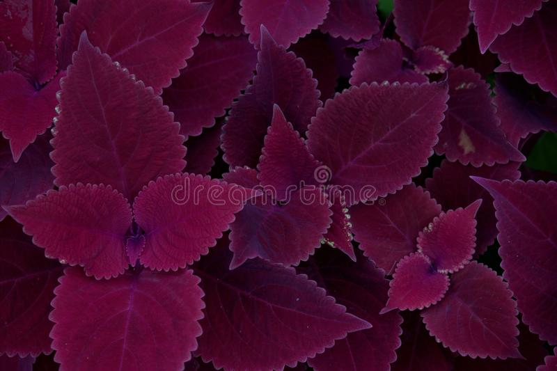 Beautiful purple leaves plant. Background pattern of purple leaves royalty free stock image