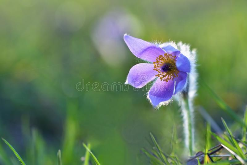 Beautiful purple little furry pasque-flower. (Pulsatilla grandis) Blooming on spring meadow at the sunset. Nature background stock photography