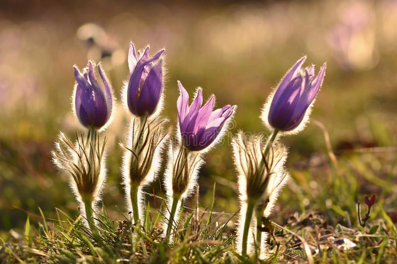 Beautiful purple little furry pasque-flower. (Pulsatilla grandis) Blooming on spring meadow at the sunset. Springtime royalty free stock photography