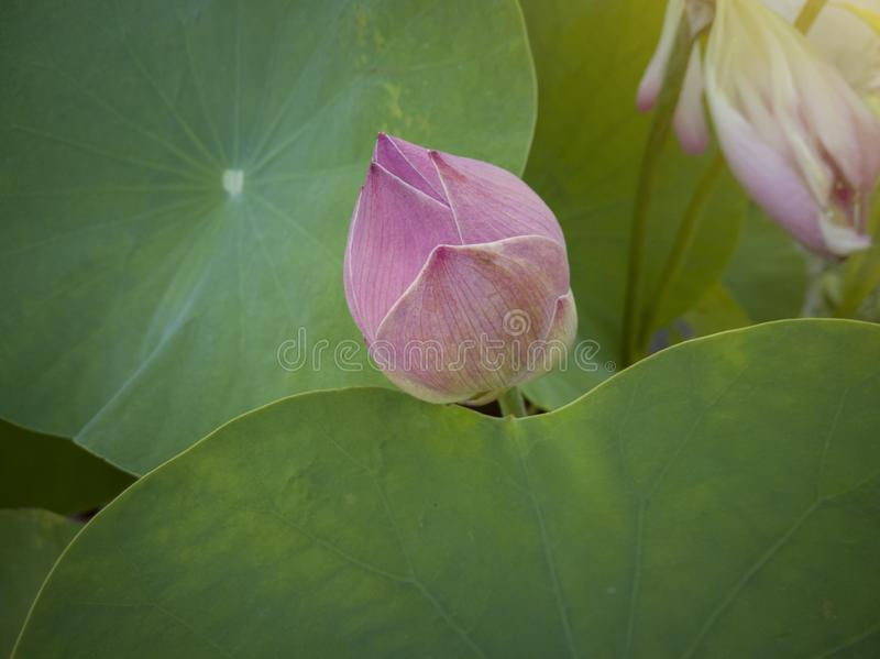 Beautiful purple lotus bud or water lily in pond. royalty free stock images
