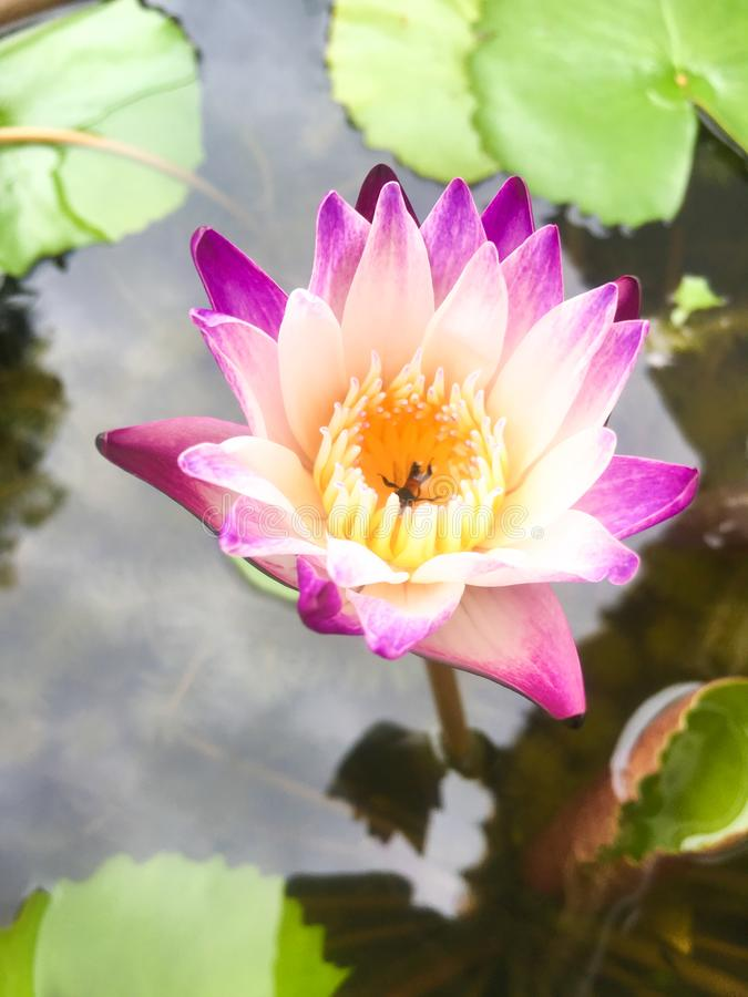 Beautiful purple lotus flower with lotus leaf and water background stock photography