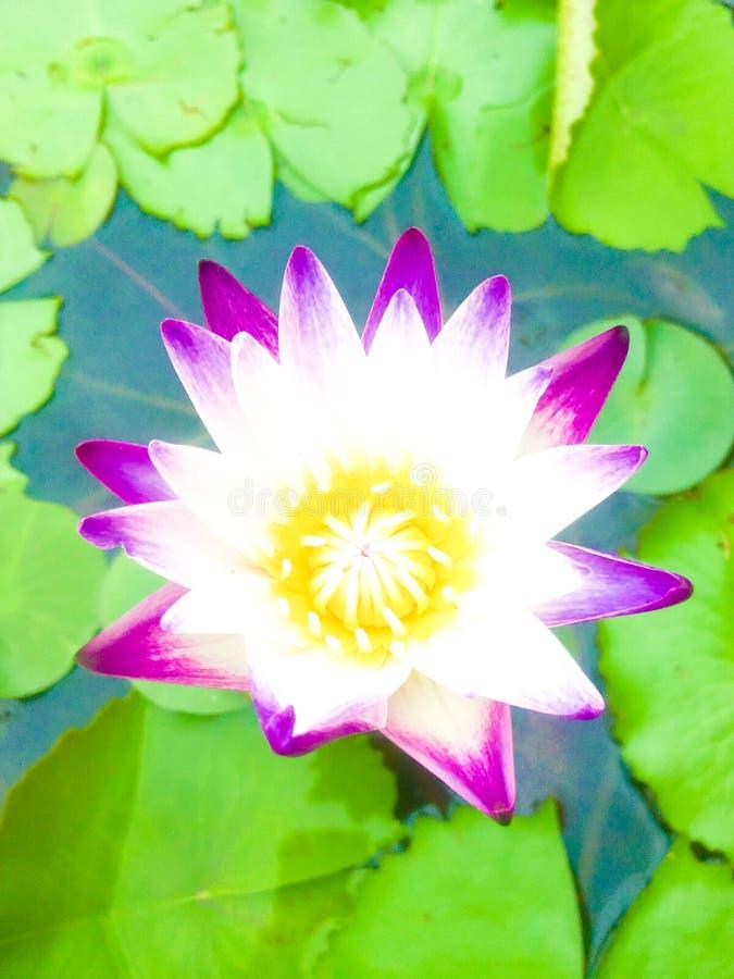 Beautiful purple lotus flower with lotus leaf and water background.. Beautiful purple lotus flower with lotus leaf and water background royalty free stock photo