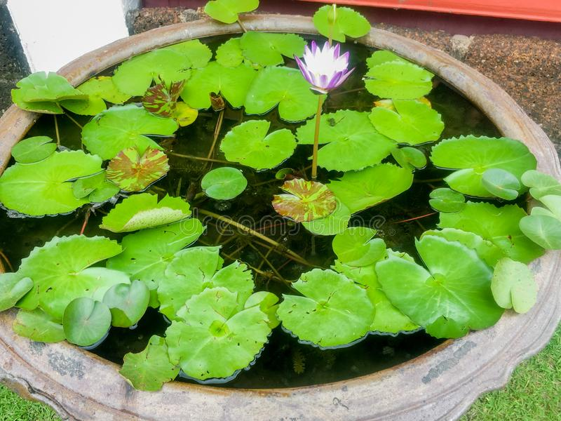 Beautiful purple lotus flower with lotus leaf and water background. stock images
