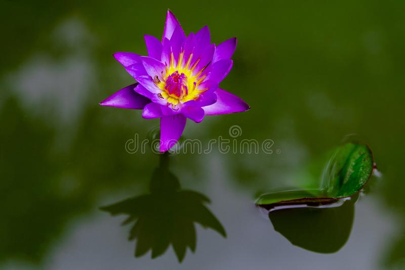 Beautiful purple lotus flower in flower pot blooming, Purple lotus flower water lilies on green leaves background. Lotus with stock image