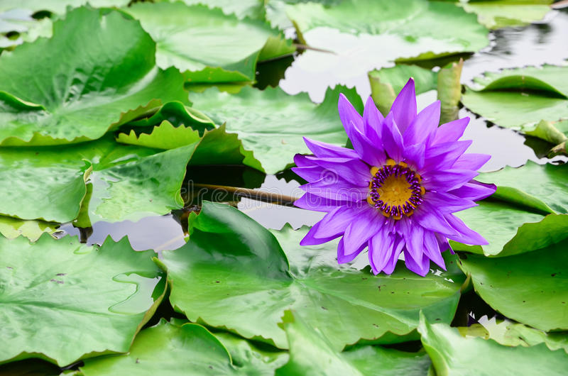Download Beautiful purple lotus stock image. Image of beauty, floral - 34442021