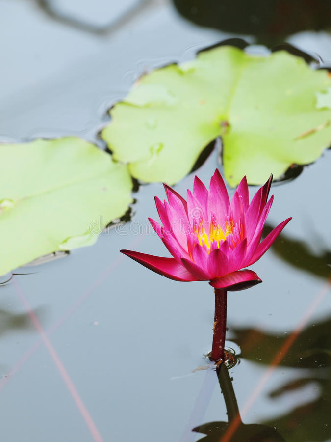 Beautiful purple lotus in the pond. Top view of beautiful purple lotus, water lily blooming in the pond royalty free stock photography