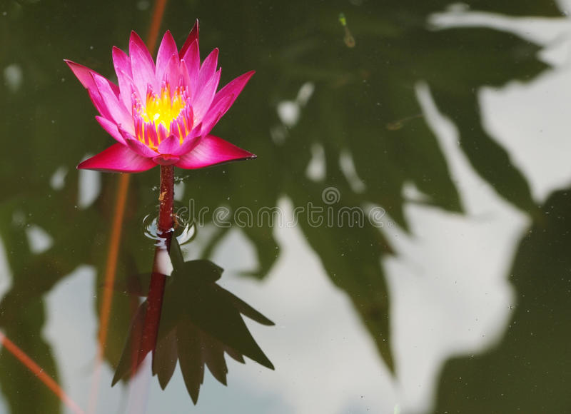 Beautiful purple lotus in the pond. Top view of beautiful purple lotus, water lily blooming in the pond royalty free stock photo