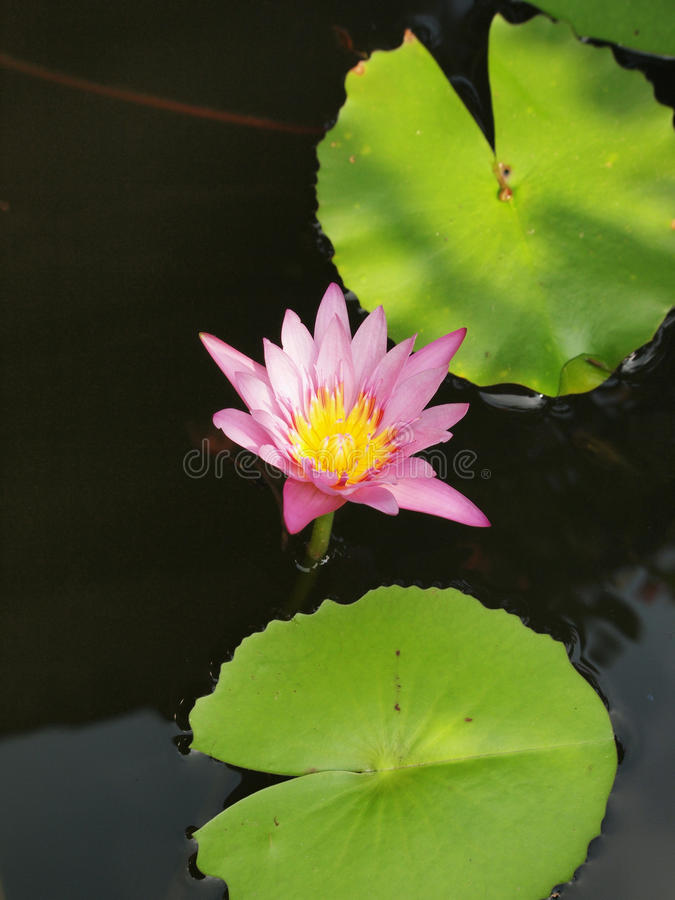 Beautiful purple lotus in the pond. Top view of beautiful purple lotus, water lily blooming in the pond royalty free stock photos