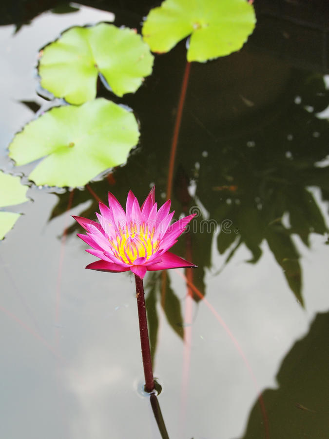 Beautiful purple lotus in the pond. Top view of beautiful purple lotus, water lily blooming in the pond stock images