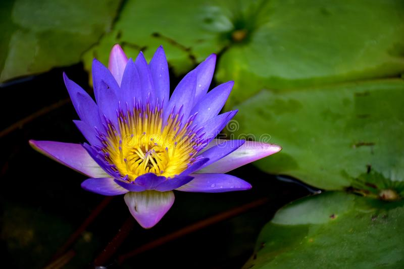 Beautiful purple lotus in the pool and green leaves around clear water. royalty free stock photo